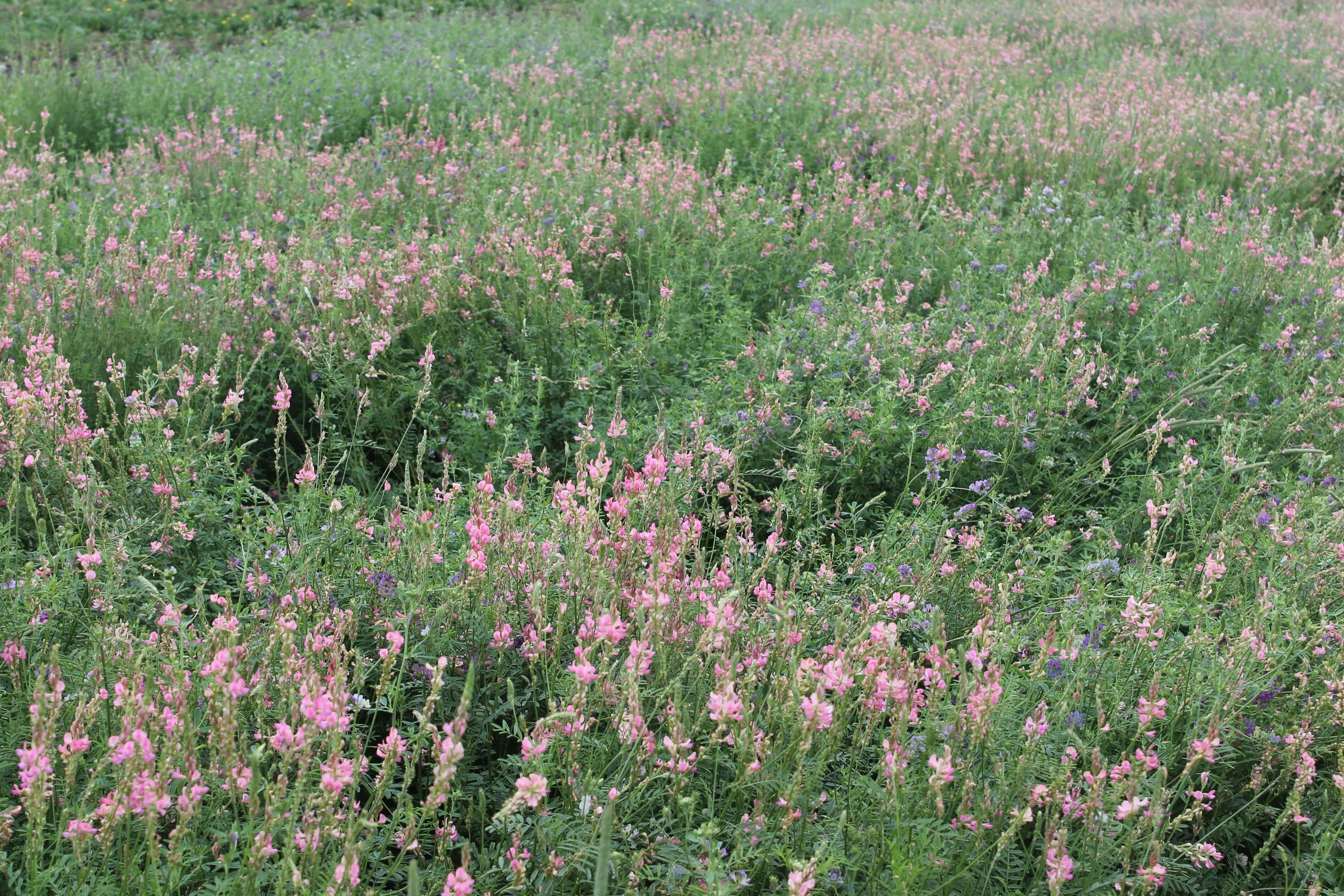 Sainfoin bloom 2015.JPG