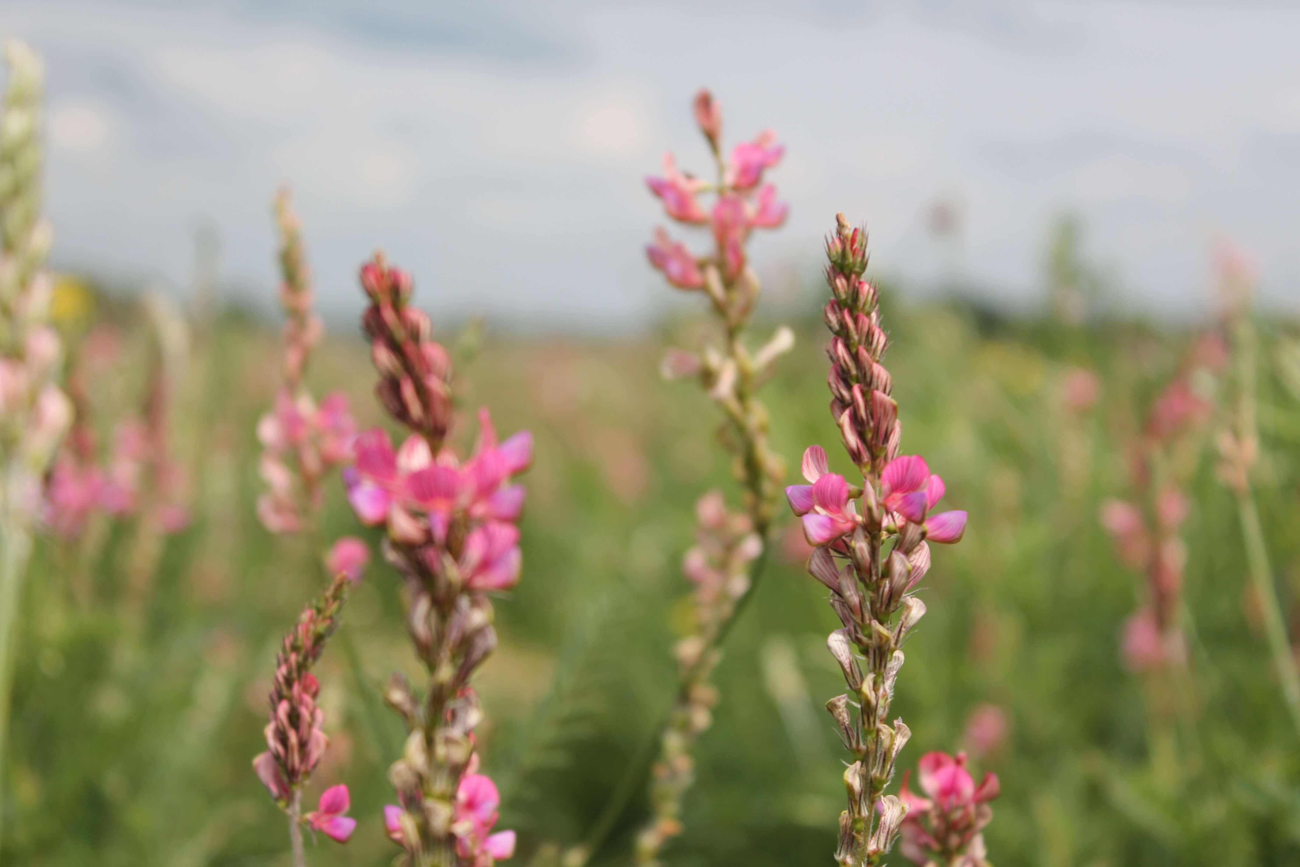 sainfoin flower closeup.JPG