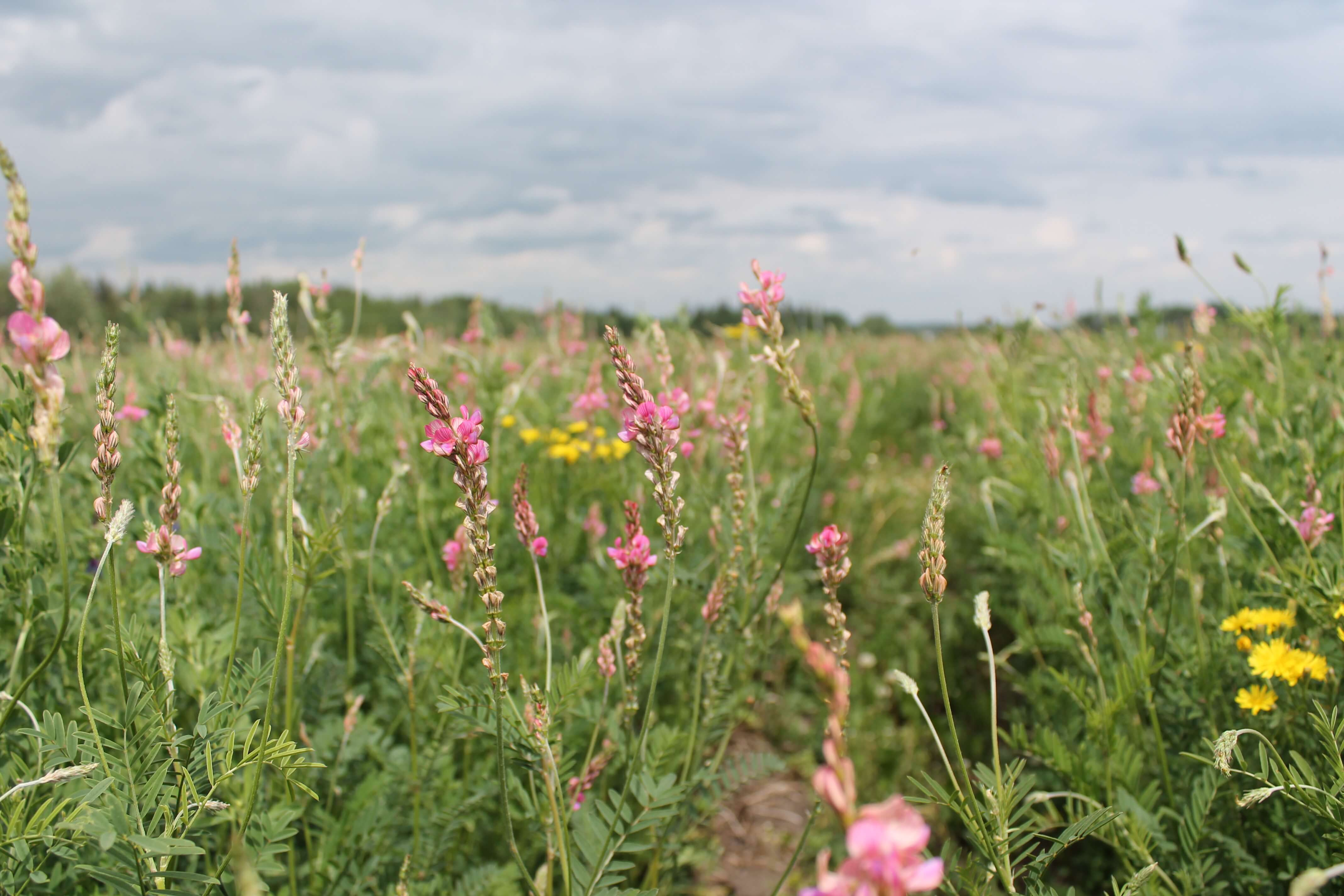 Sainfoin plants closeup.JPG